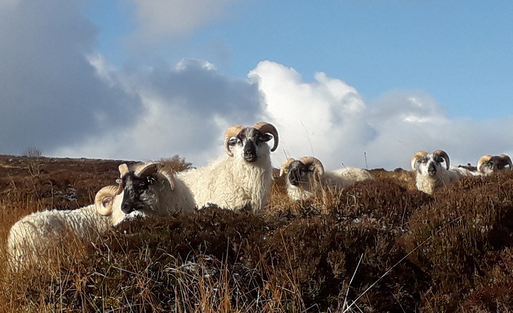 Orkney Boreray sheep, blue sky and clouds