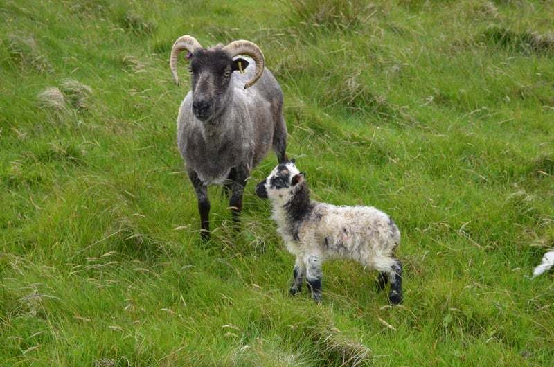Orkney Boreray ram lamb and his mother, Coda