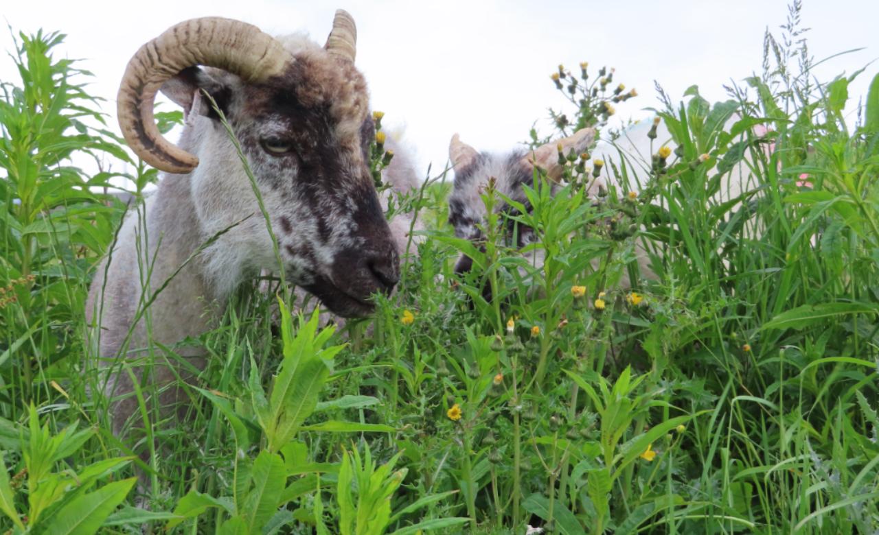 Sheep wide colour