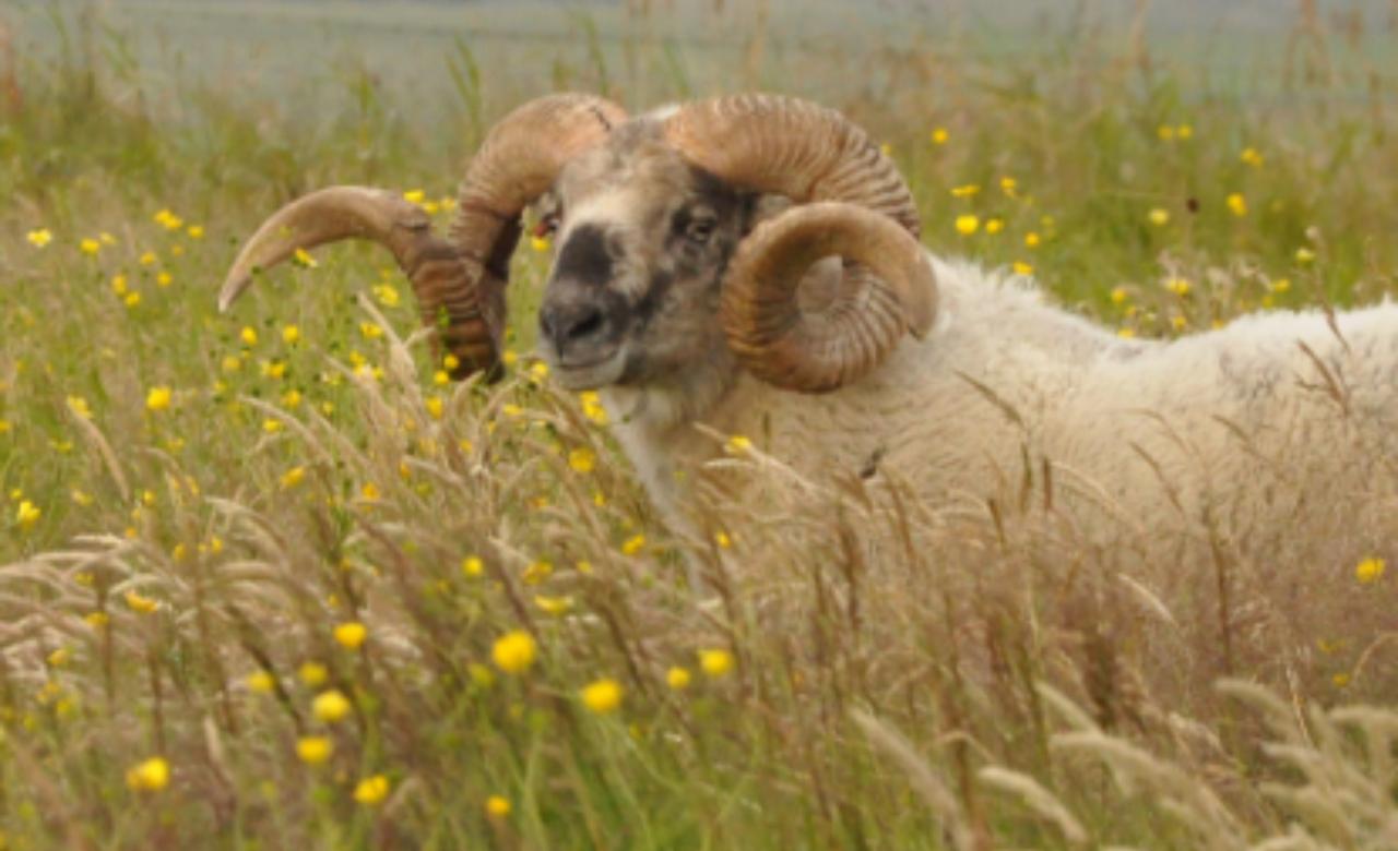 Thin sheep colour