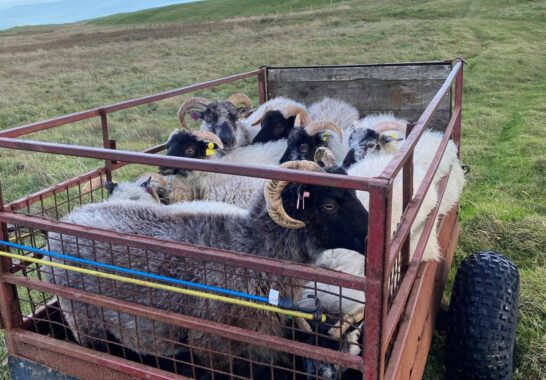 Orkney now has FIVE flocks of Orkney Boreray sheep
