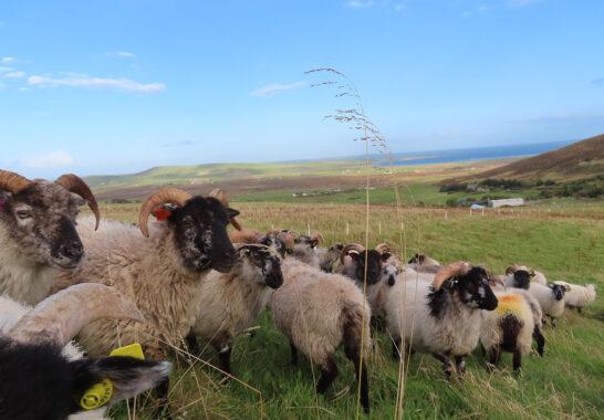 Orkney Boreray Mutton gains Slow Food International Presidium Award