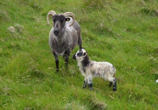 Ram Lamb Born at Lochend