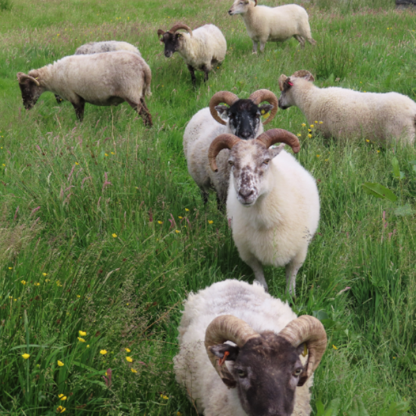 Our Flocks