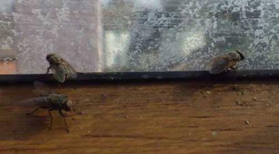 Cluster flies in the loft.