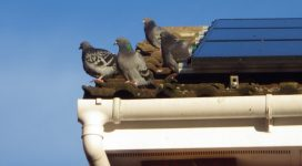 pigeon control needed on the roof