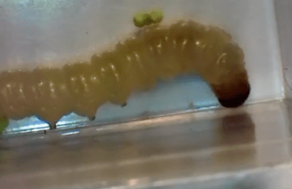 Indian Meal Moth Larvae | Pest Control Sevenoaks
