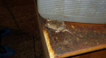Mouse in the loft