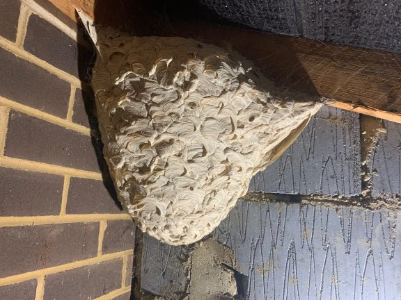 Wasp nest housing hundreds of carpet beetle larvae