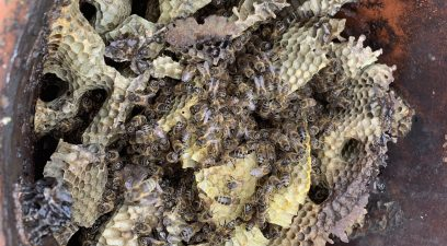 Honey bees in the chimney