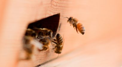 Get rid of honeybees