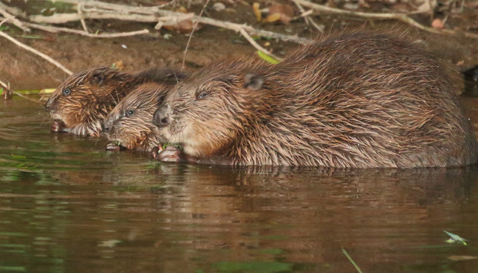 Beaver and kits photo by Mike Symes ce419d8d74fab983b43815692c12222a