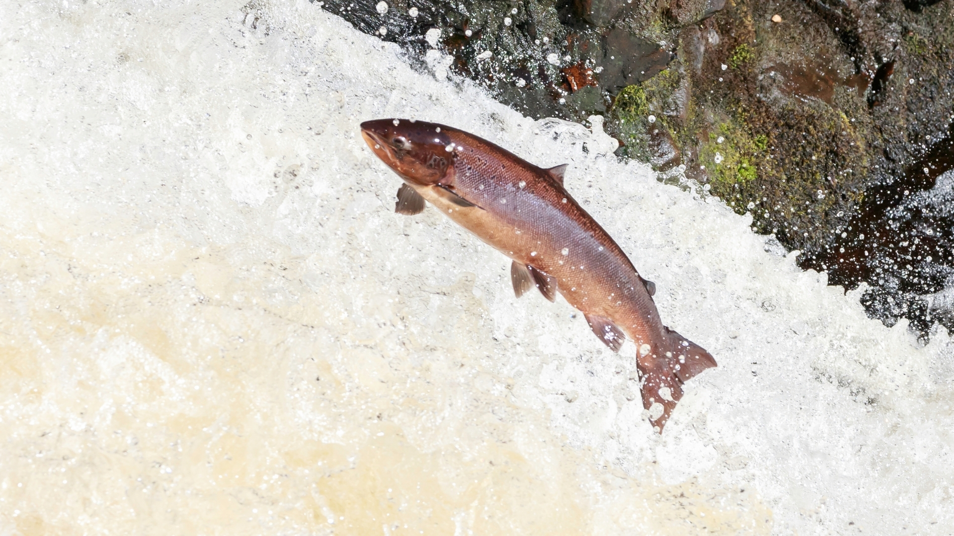 Atlantic salmon leaping in river