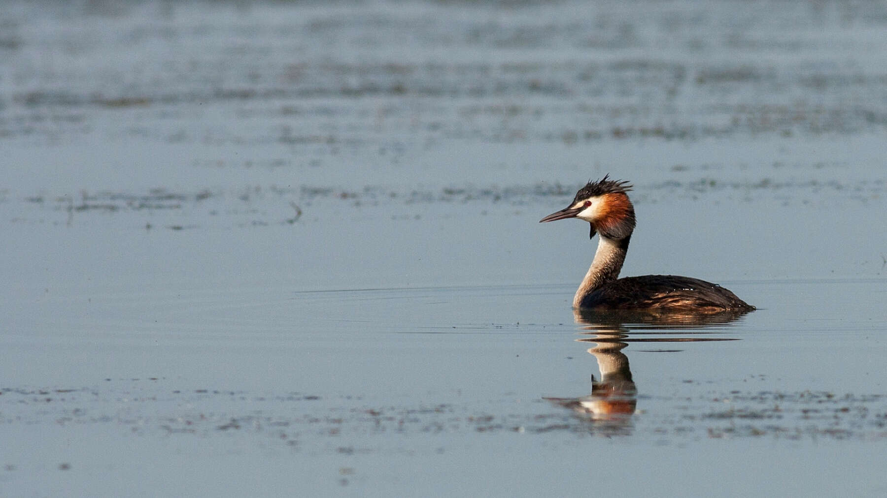 Crested grebe in river