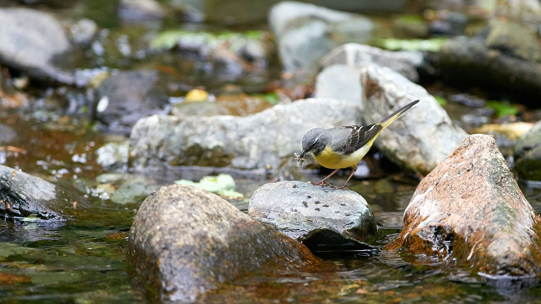 Grey wagtail in river