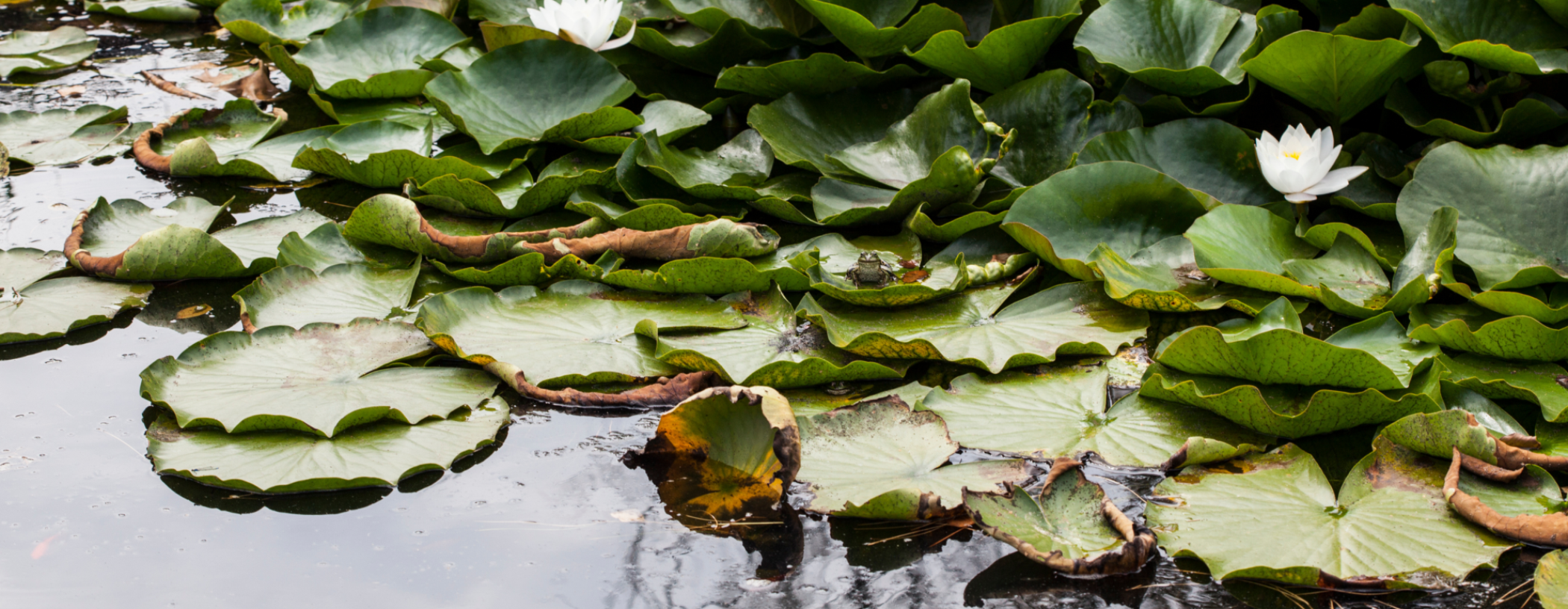 Pond with lily pads