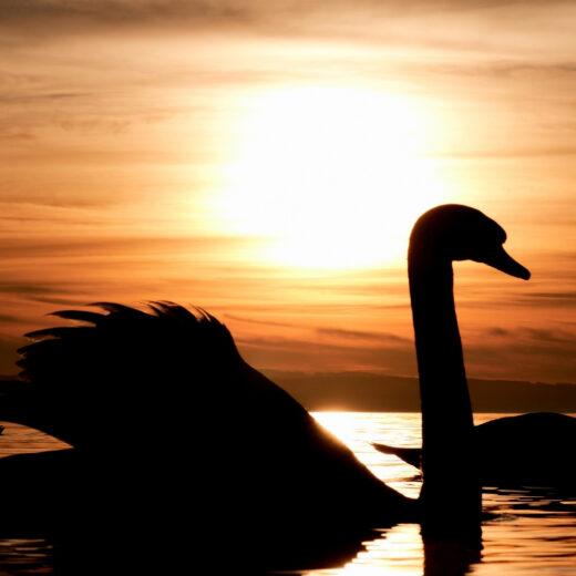 Swans swimming through river at sunset