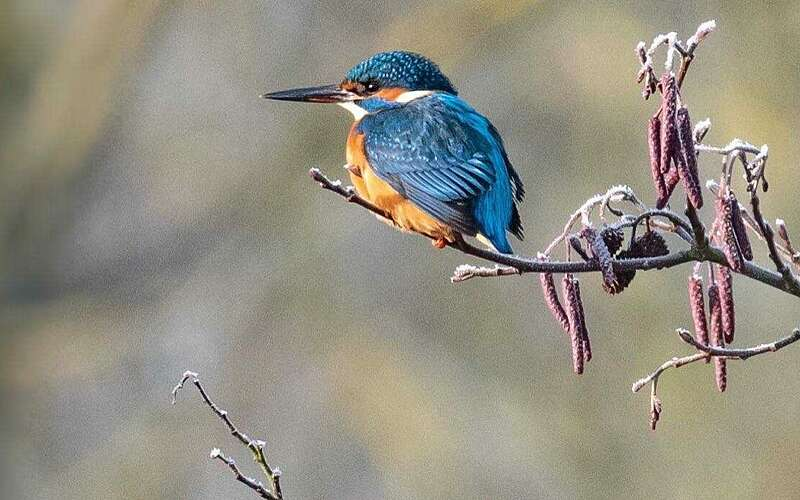 Frost and kingfisher
