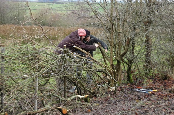 Aire Rivers Trust – Hedgelaying