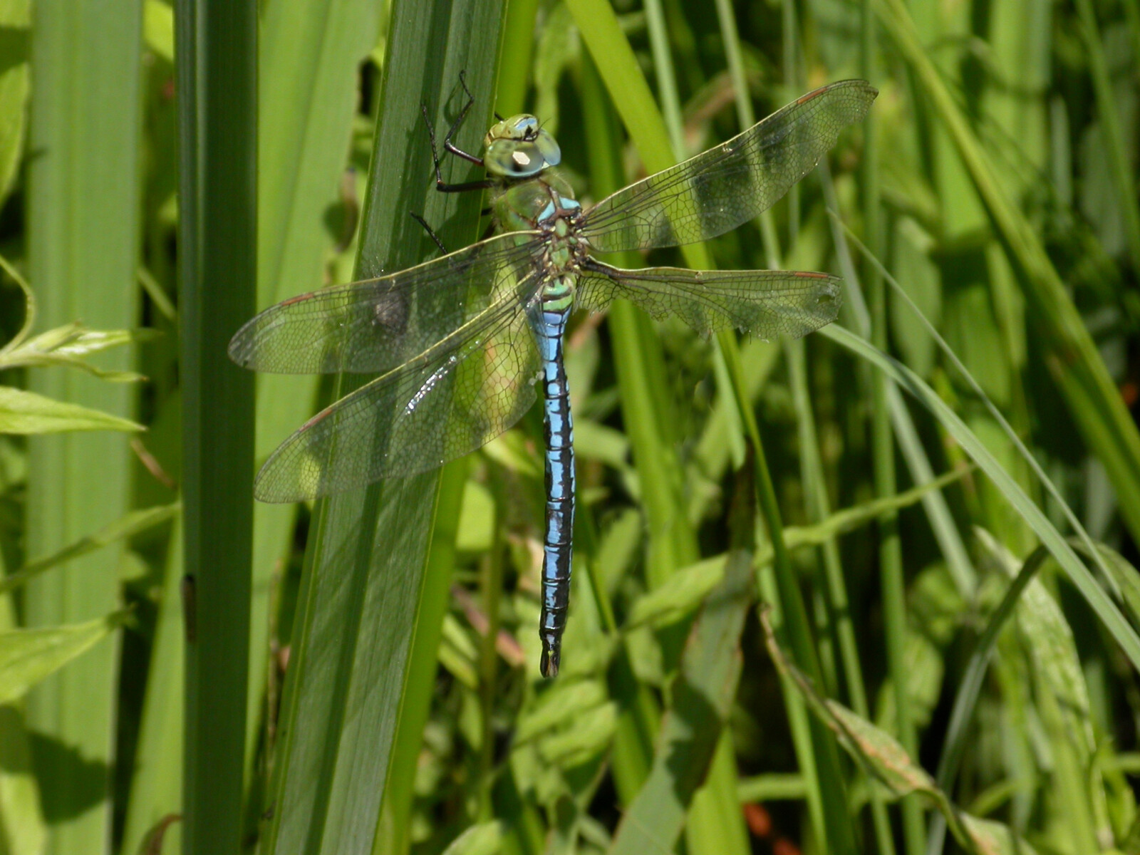 Emperor Dragonfly - credit David Kitching