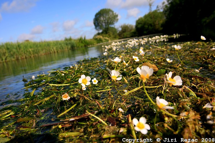 Water crowfoot harvesting, Nr Ramsbury SN8, Action for the River Kennet
