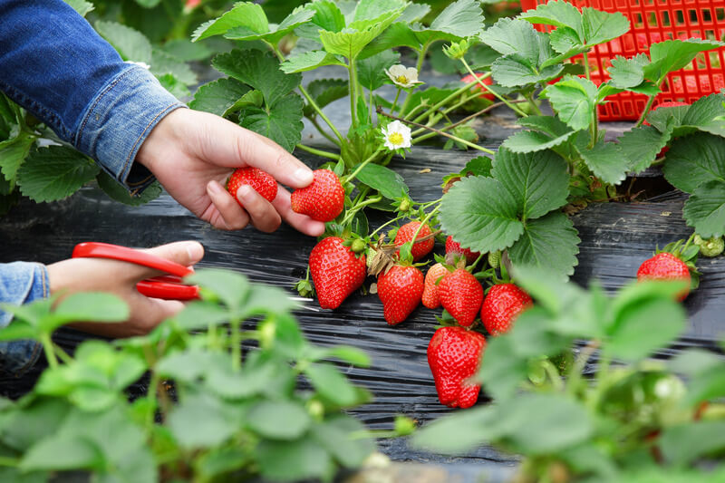 Strawberries South East Rivers Trust