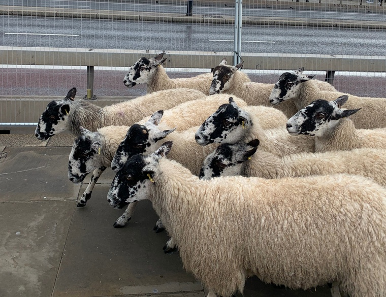 image of sheep at London Bridge