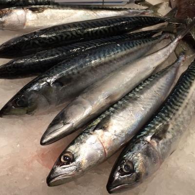 White & oily fish