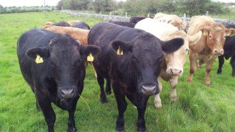€327 differential between Irish and UK beef