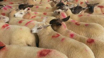 6% fall in Northern Irish lamb imports in September