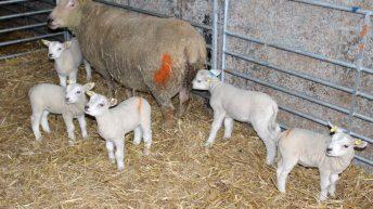 Quintuplets born to Charollais ewe on Tyrone farm