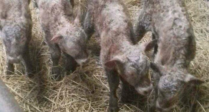 Farmer left dumbfounded after birth of quadruplet heifer calves