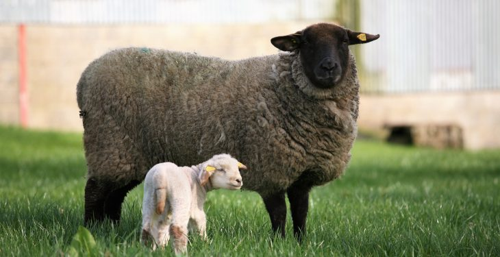 Aberdeenshire farm to open gates to public during lambing