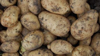 Potato processors given go-ahead for controlled use of DMN