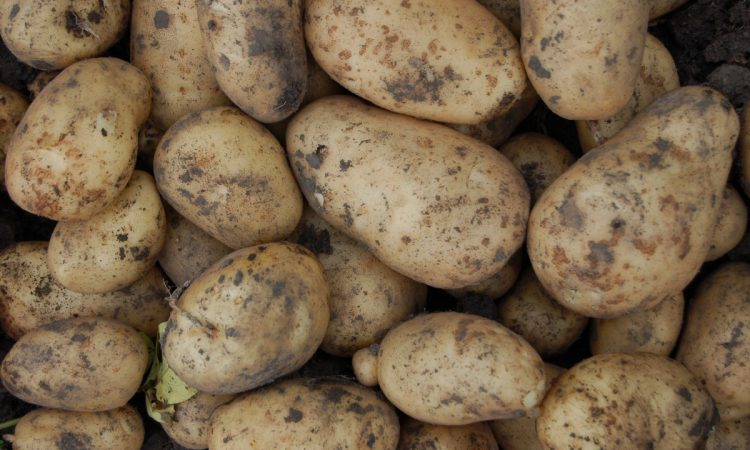 'Potatoes less exposed to Brexit risks than many other sectors'