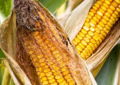 Recent cold spell delays maize planting across the UK