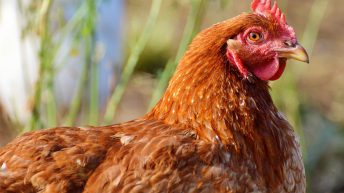 Newcastle Disease confirmed in Belgium: What you need to know