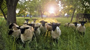SCOPS launches Code of Practice to ensure safe and effective sheep dipping