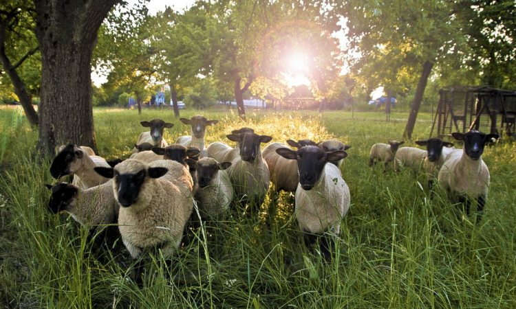 Choosing your sheep stock for the future