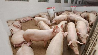 70 pigs rescued from slurry tank after floor collapses