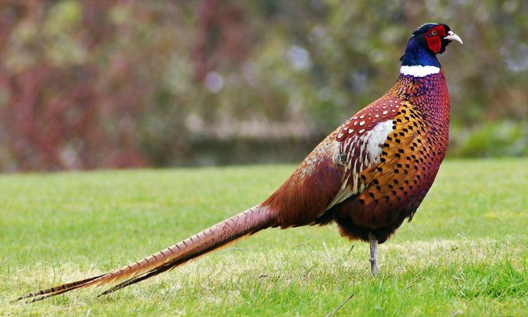 Board to end pheasant shoots on Welsh Government land