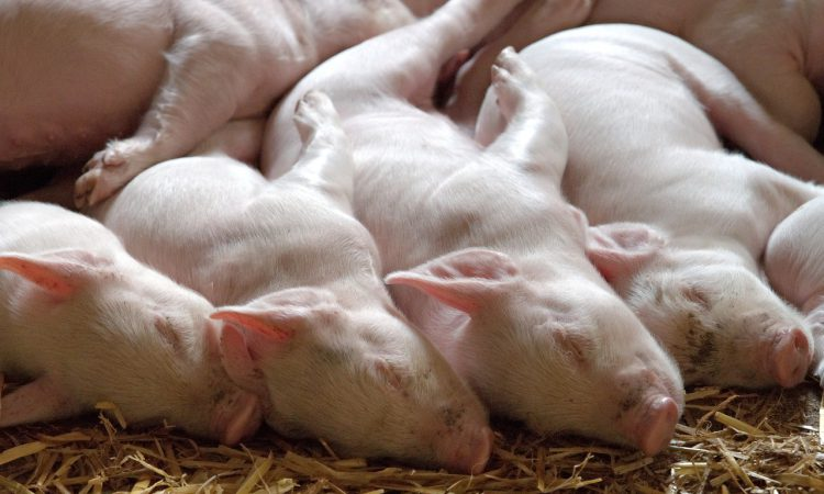 'It is really important that we export breeding animals' – NPA