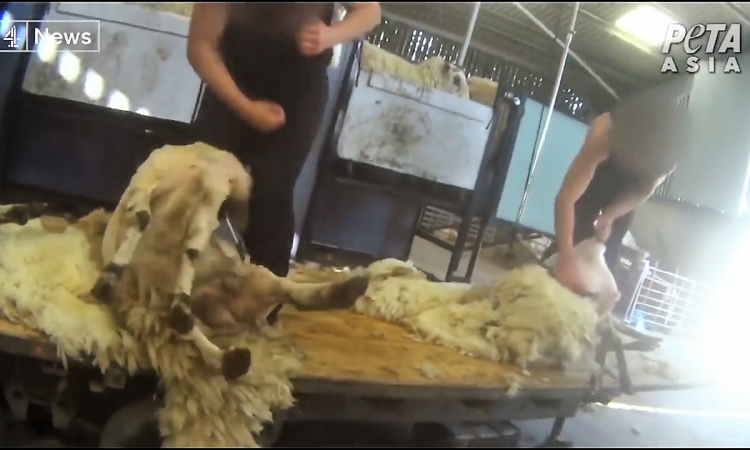 Video: Abusive shearers caught on footage in UK
