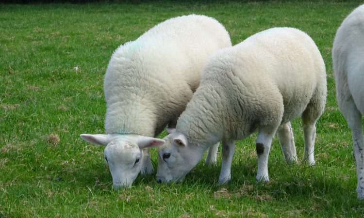 Sheep event to tackle key issues in Welsh industry