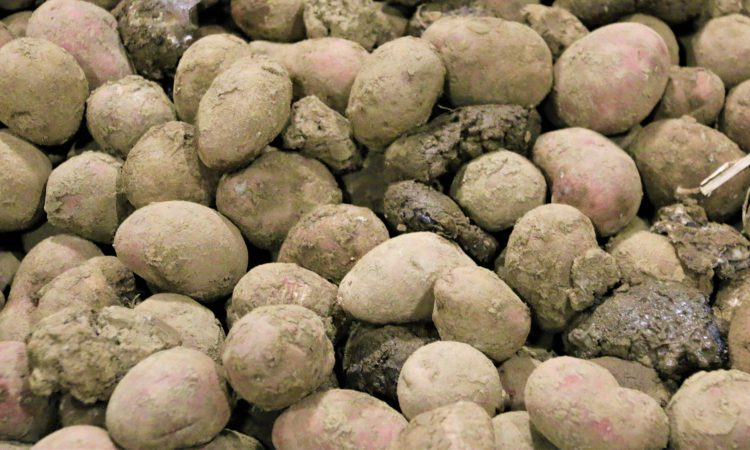 Growers welcome 'No' vote on AHDB potato levy