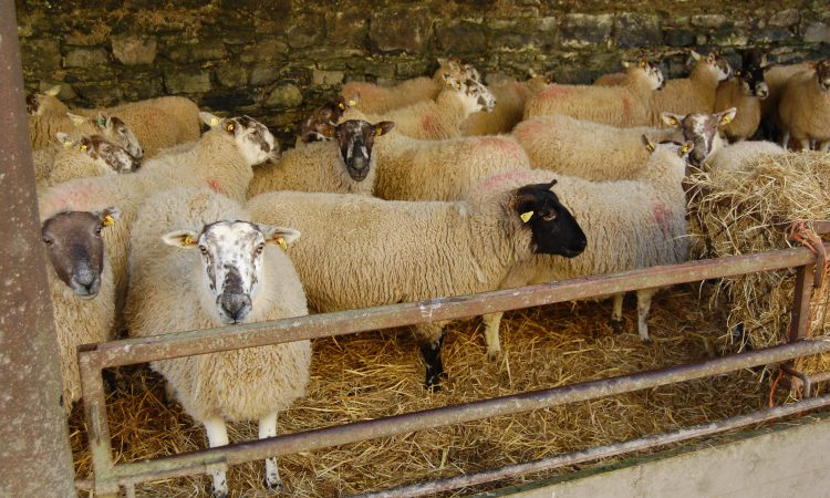 Arbitrary sheep ageing rules not to change due to Brexit uncertainty