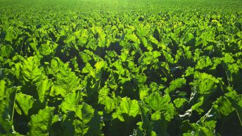 Insecticide gets emergency authorisation for sugar beet