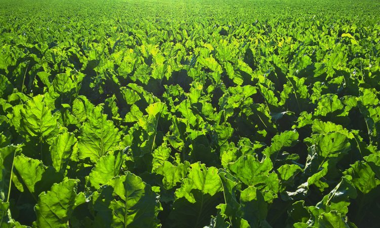 Emergency use of neonic seed treatment in sugar beet will not be triggered this year
