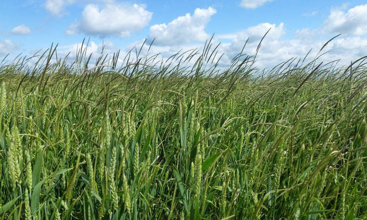 Black-grass is costing UK agriculture £1 billion per annum