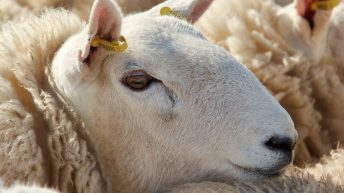 NSA: US negotiations offer new routes for UK sheepmeat